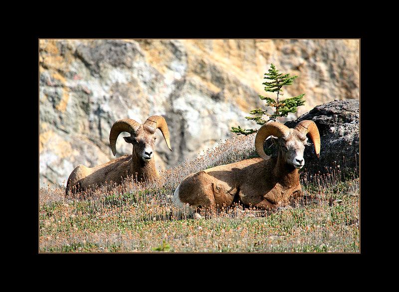 Big Horn Sheep Resting