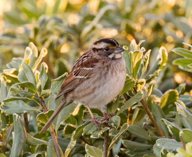 White-throated Sparrow Encinitas 2015 12 08-3.CR2