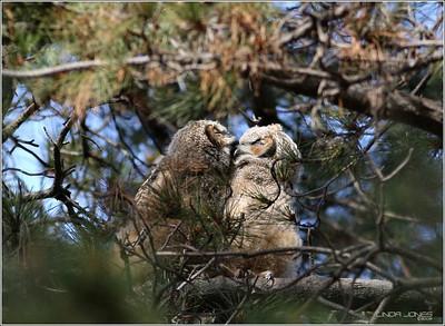 Owls, Harriers, BCNH, Coyotes, Hawks, Dark Morph, Coyote 09 OCwildlife