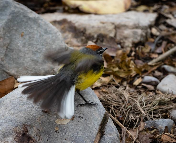 Brown-capped Redstart