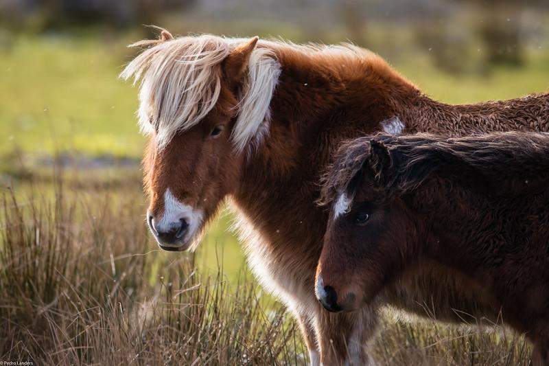 Backlit Dartmoor Ponies
