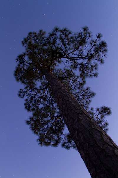 Longleaf pine after dark.