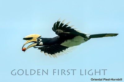 Oriental Pied-Hornbill, Baan Maka, Thailand