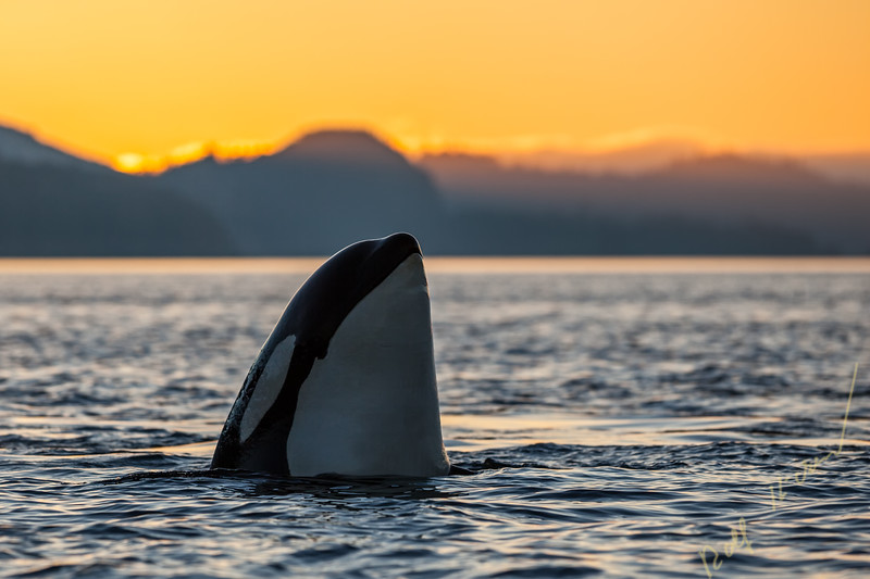 Resident Killer whale (Orcinus orca) spyhopping during sunset in Johnstone Strait, British Columbia, Canada.