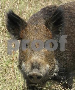 urban-feral-hogs-program-slated-aug-31-in-san-antonio