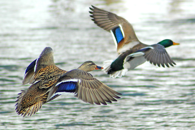 Duck on Wing