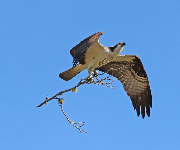 osprey 442.jpg