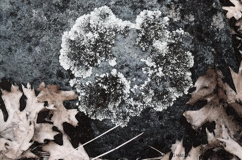 lichen 1-15-2009.jpg