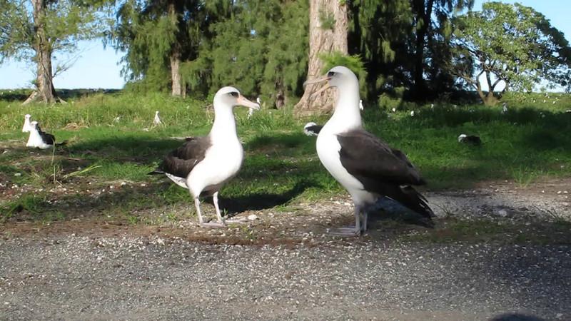 Albatross Dance - 22 November 2011