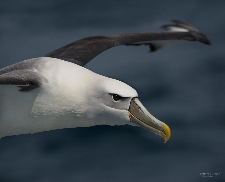Shy Albatross, Wollongong Pelagic, NSW, Aus, Sep 2013-3.jpg
