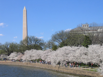 Cherry Blossoms in Washington DC April 2007