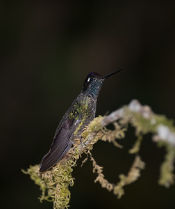 Savegre Hummingbirds and Others