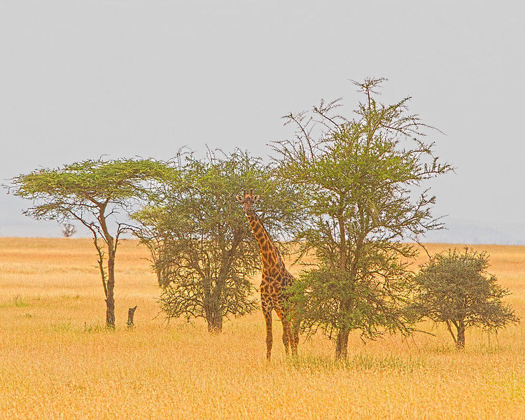 TANZANIA - GIRAFFES