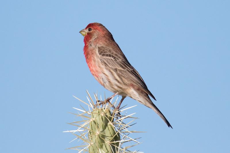 House Finch Saguaro NP 2020-1.jpg