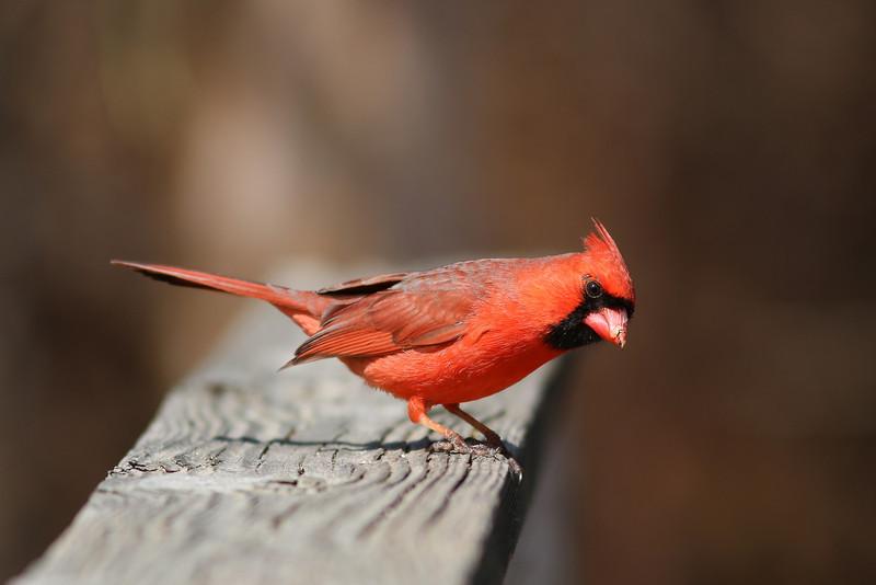 A male cardinal. At the Elizabeth A Morton National Wildlife Refuge.