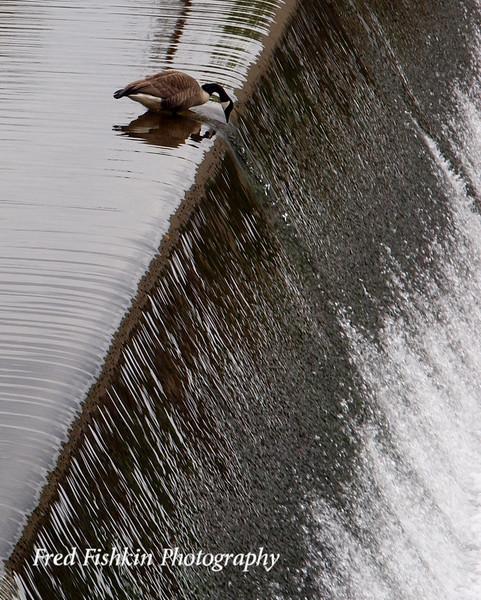 goose taking gander.jpg