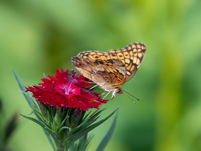 Butterflies, Bees, Hummingbird 2021 Maryland