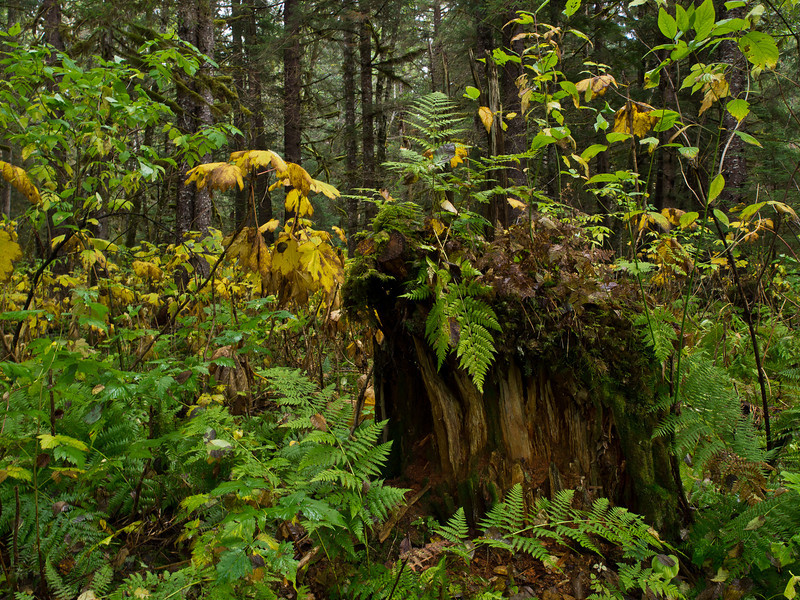 Stump with Fern near Kowee Creek