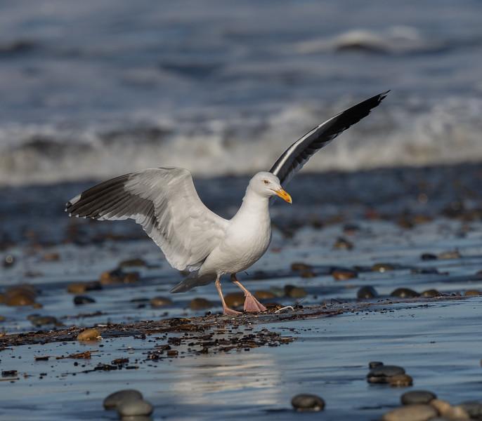 Western Gull Cardiff Beach 2021 01 26-1.CR3