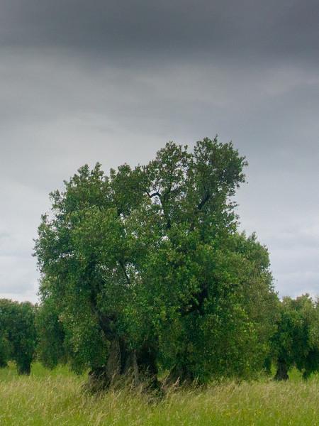brindisi brancat olive trees 3.jpg