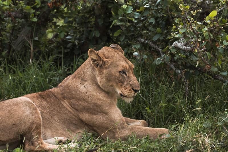 Lion_2071.jpg