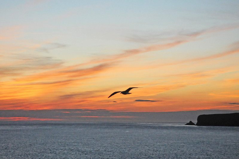 Gull sunset Skomer crop 1781.jpg