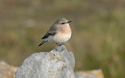 UK Rare/Scarce Birds 2012-2019