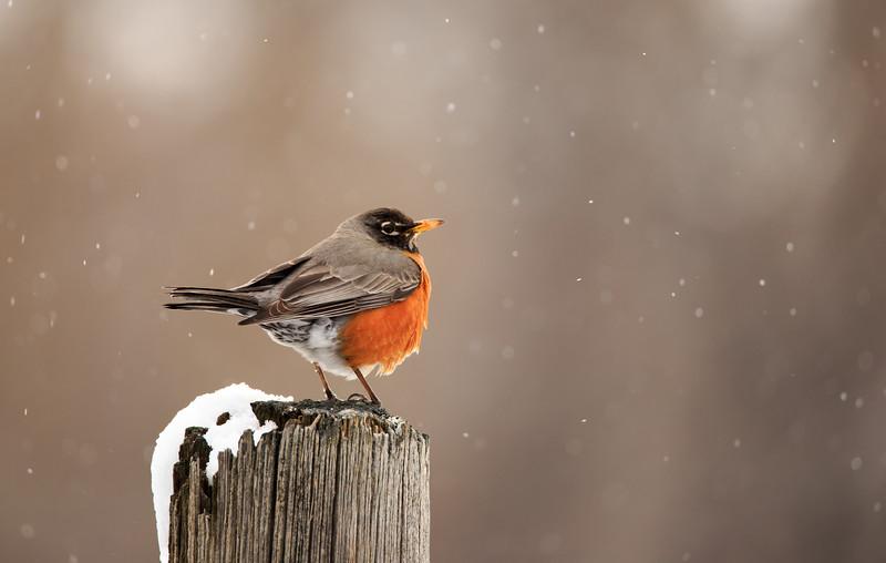 Robin watching snow fall. 8623