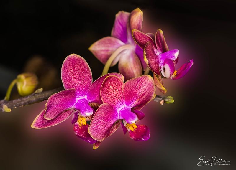TBG Orchids 3-11-2018b-.jpg
