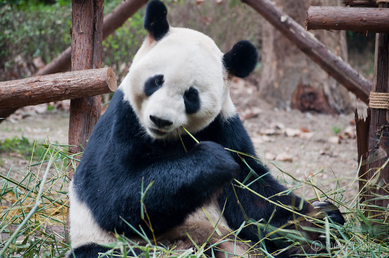 Giant_Panda_eating_Chengdu_Sichuan_China2.jpg