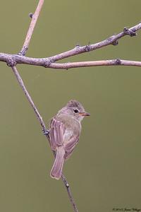 Northern Beardless-Tyrannulet, Camptostoma imberbe