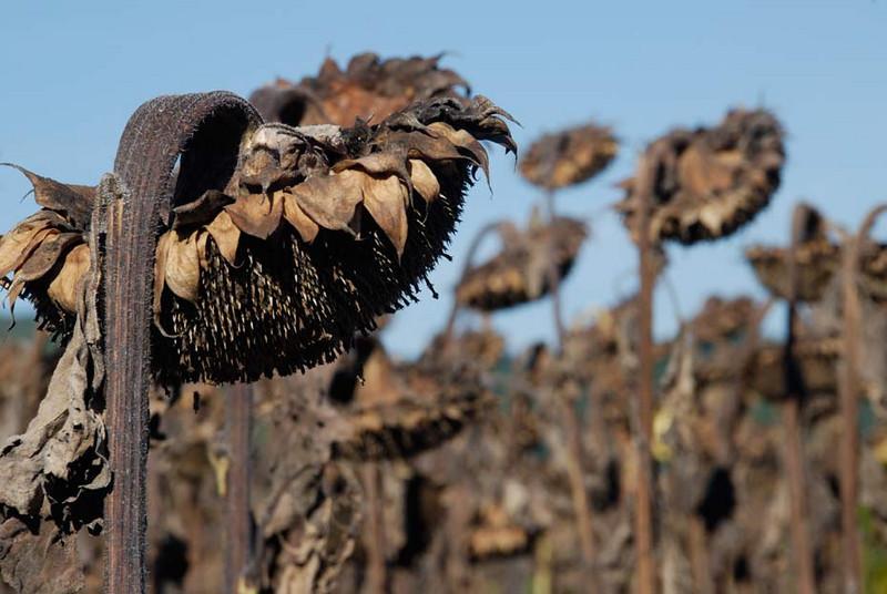 wilted-sunflowers.jpg