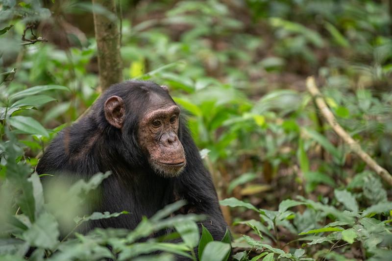 Uganda_T_Chimps-696.jpg