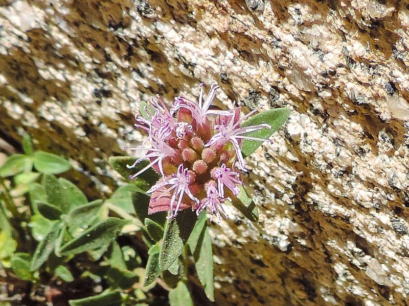 Southern Mountain Monardella (Monardella australis) LAMIACEAE