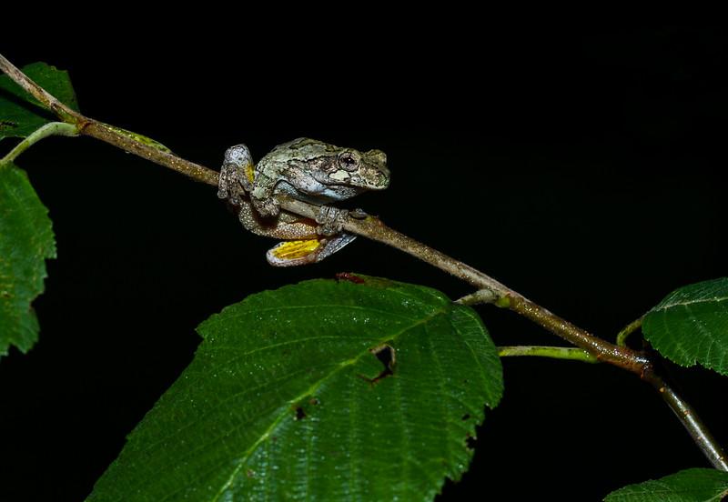 Grey Treefrog on Birch (1 of 1).jpg