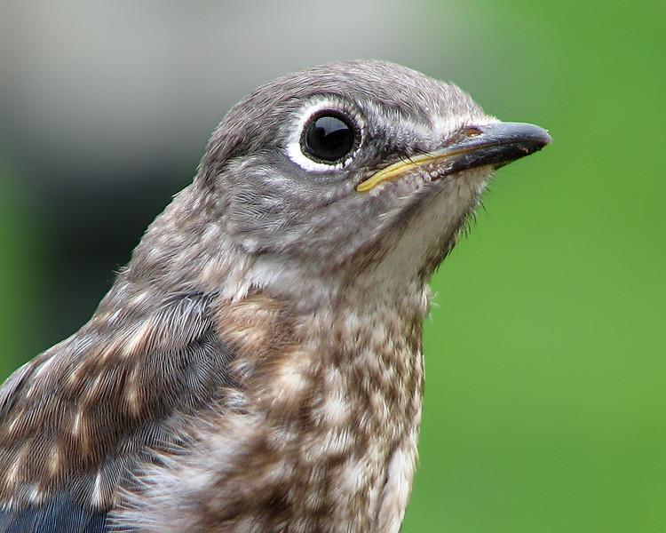 bluebird_fledgling_7978.jpg