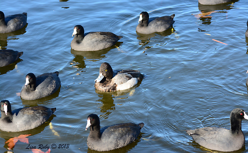 Lesser Scaup with identity crisis - 12/23/13 - Santee Lakes