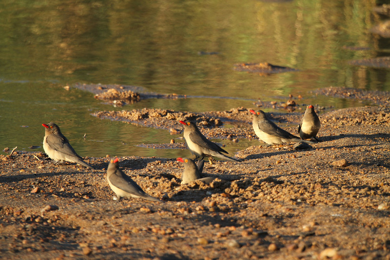 Red-billed oxpeckers left behind
