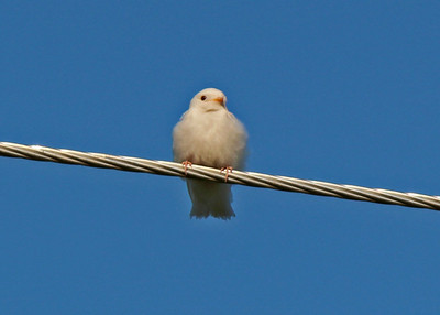 Albino Swallow