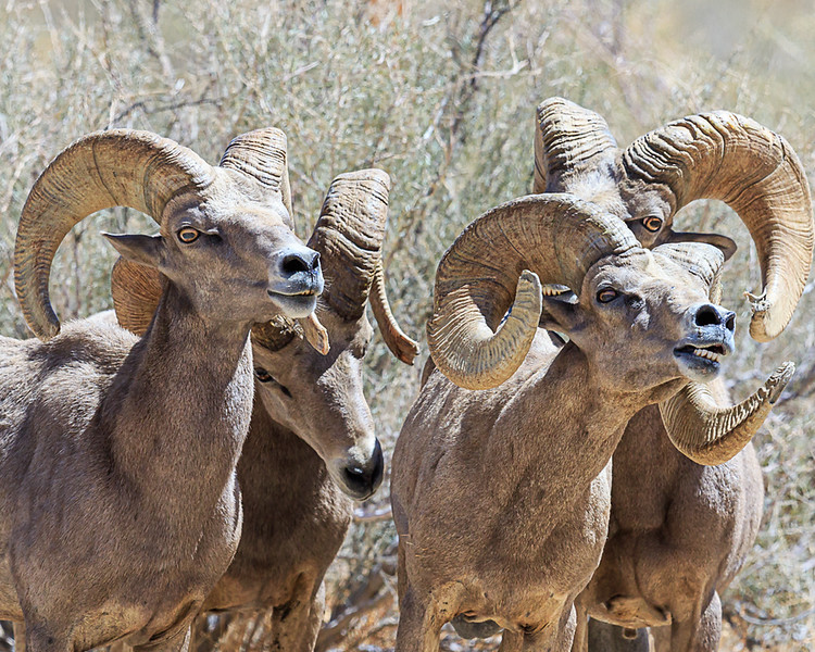 desert rams all eyes.jpg