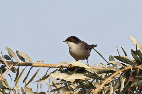 Sardinian Robin