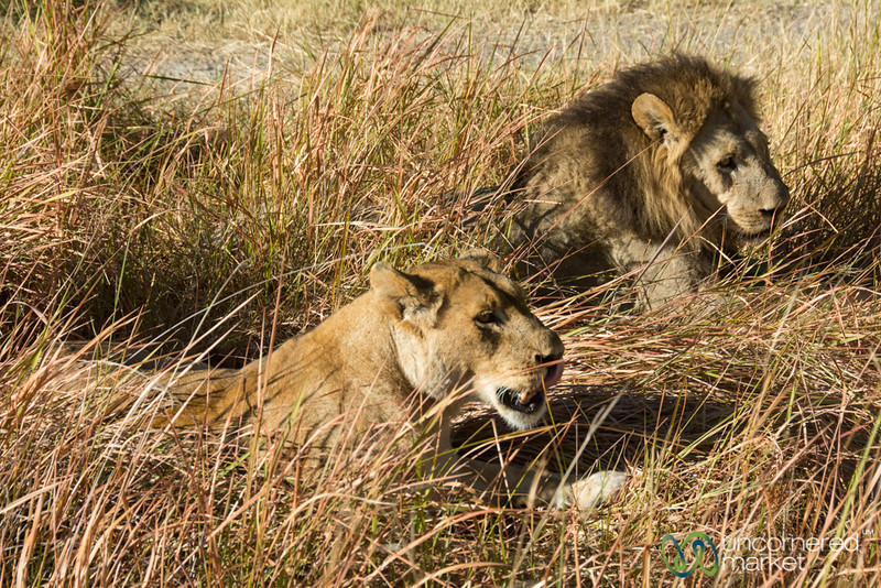 Male and Female Lions in Moremi Game Reserve - Camp Xakanaxa, Botswana