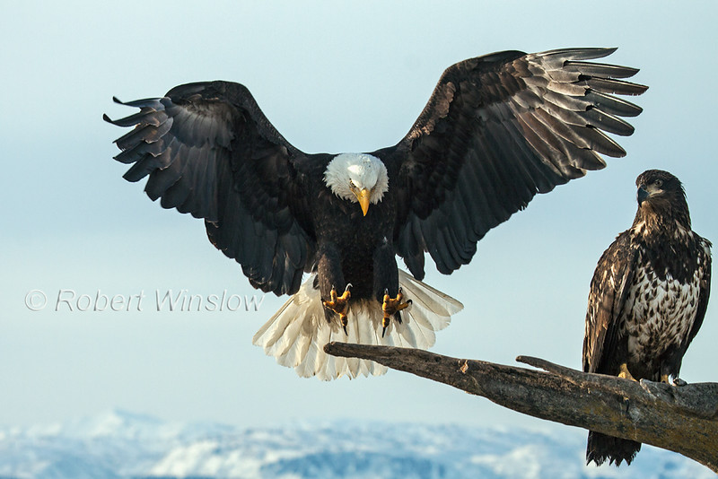 Bald Eagle 2001W1WM2 .jpg