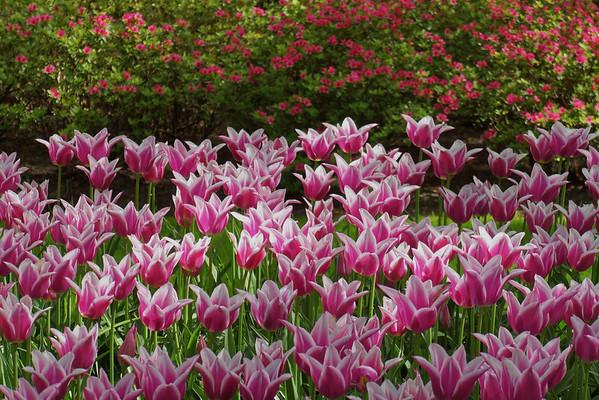 Keukenhof - Tulips from Amsterdam