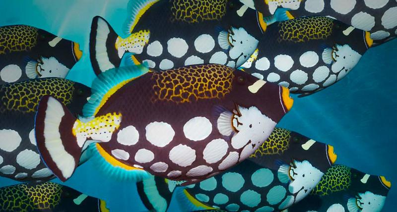 ClownTriggerfish_EN-US2626699072.jpg