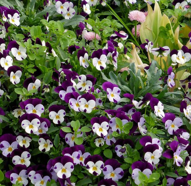 Day4-Lindau purple flowers.jpg