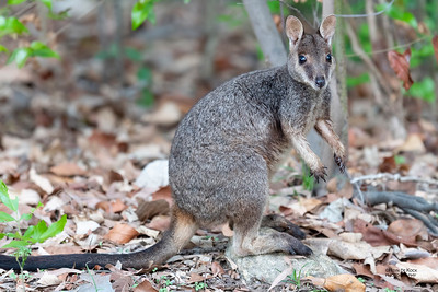 Allied Rock-wallaby (Petrogale assimilis)
