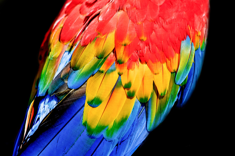 Plumage details of a scarlet macaw