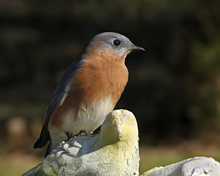 bluebird_6413.jpg