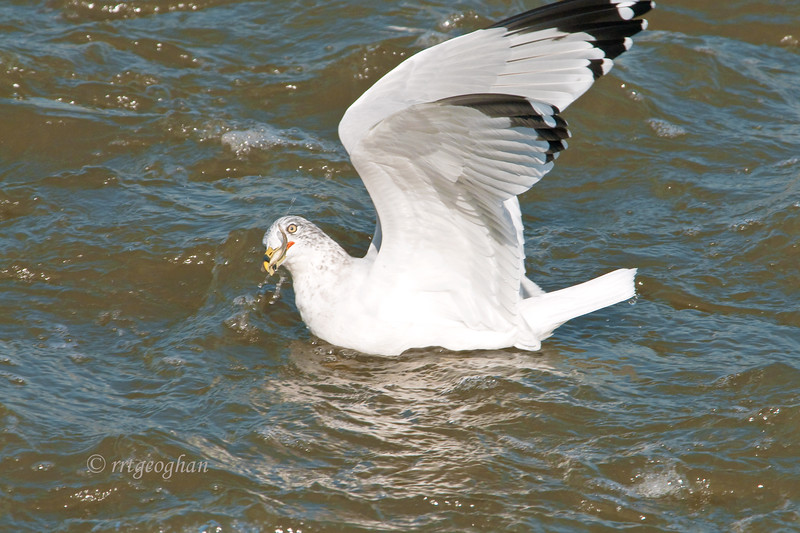 Nov 2_RingBilled Gull Lunch_7452.jpg